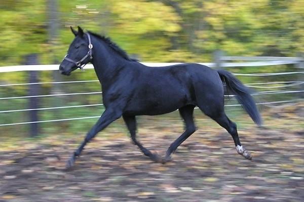Wind Dance - Dutch Warmblood For Sale | Darien Equestrian Center
